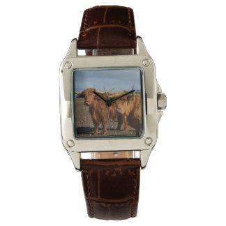 Große Brown-Hochland-Kühe, Uhr