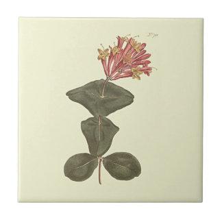 Große Trompete-Geißblatt-botanische Illustration Kleine Quadratische Fliese