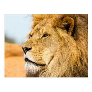 Großer Löwe, der weit weg schaut Postkarte