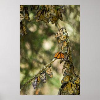 Gruppe des Monarchen Butterfies, Mexiko Poster