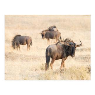 Gruppe von Wildebeest Postkarte
