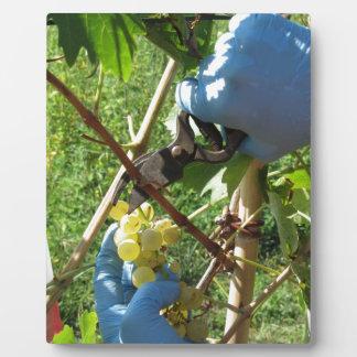Hand, die weiße Trauben, Erntezeit schneidet Fotoplatte