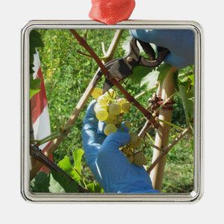Hand, die weiße Trauben, Erntezeit schneidet Quadratisches Silberfarbenes Ornament