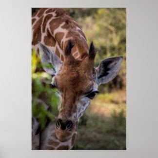 Headshot einer Giraffe Poster