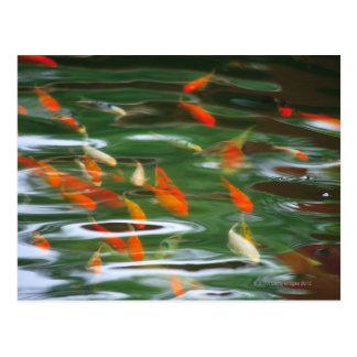 Hohe Winkelsicht der koi Mistfische in einem Teich Postkarte