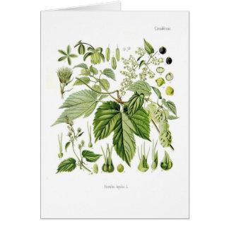 Humulus lupulus (Hopfen) Grußkarte