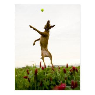 Hundeanziehender Tennisball im mitten in der Luft Postkarte