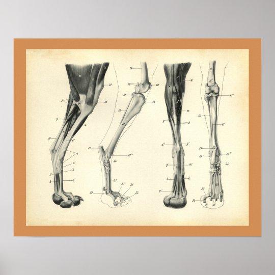 Hundebein-Knochen-Muskel-Veterinäranatomie-Druck Poster | Zazzle.at