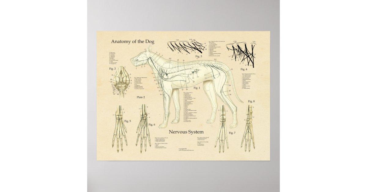 HundeNervensystem-Nerven-Anatomie-Diagramm Poster | Zazzle.at