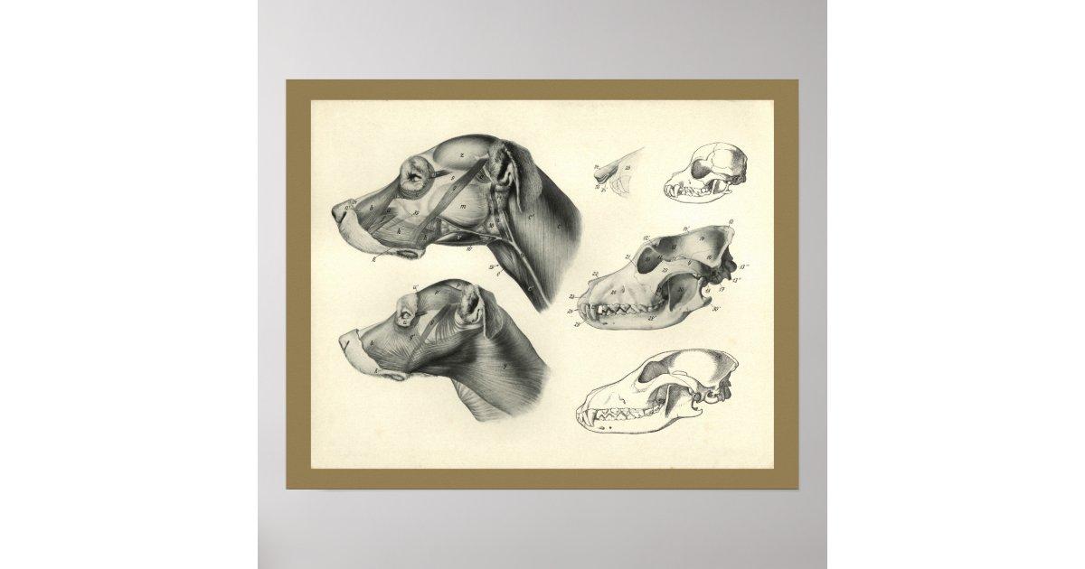 Hundeveterinärschädel-Kopf-Muskel-Anatomie-Druck Poster | Zazzle.at