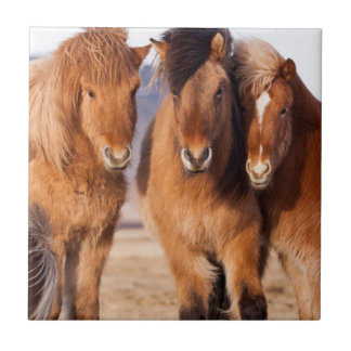 Isländisches Pferd während des Winters Keramikfliese