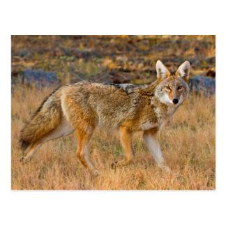 Jagd des Kojote-(Canis Latrans) Postkarte