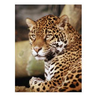Jaguar-Postkarte Postkarte