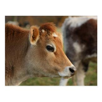 Jersey-Kuh Postkarte