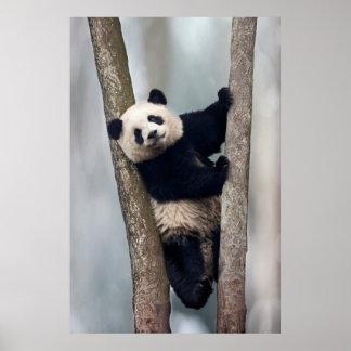 Junger Panda, der einen Baum, China klettert Poster