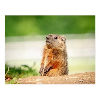 Junges Groundhog Postkarte