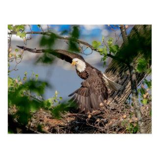 Kahler Adler, der das Nest verlässt Postkarte