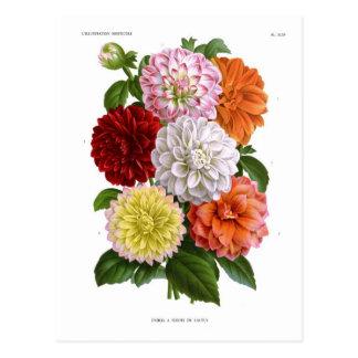 Kaktus-Dahlien Postkarte