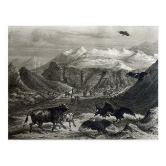 Kalb, das durch die Kondore angegriffen wird Postkarte