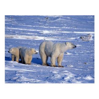 Kanada, Manitoba, Churchill. Eisbärmutter Postkarte