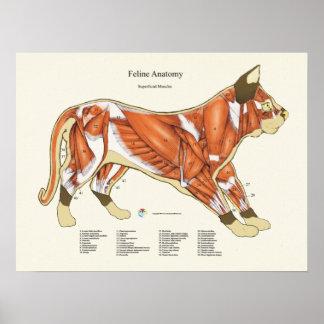 Katzen-Muskel-Anatomie-Tierarzt-Diagramm Poster