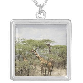 Kenia, Samburu nationale Reserve. Rothschild Versilberte Kette