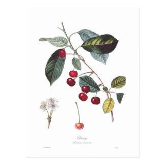 Kirsche (Prunus cerasus) Postkarte