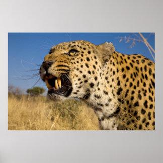 Knurrender Leopard Poster