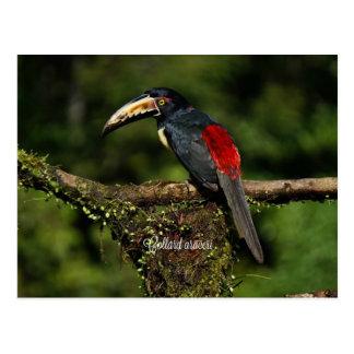 Kohl araceri, tropischer Vogel Postkarte