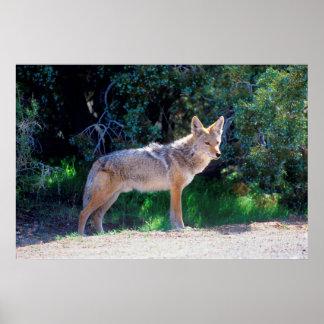 Kojote steht entlang einer Straße Poster