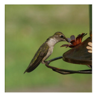 Kolibri, Acryldruck