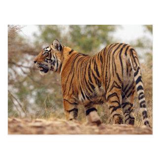 Königlicher bengalischer Tiger an aufwärts, Postkarte
