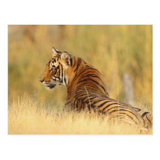 Königlicher bengalischer Tiger, der außerhalb Postkarten