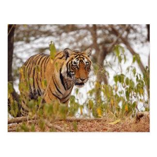 Königlicher bengalischer Tiger, der durch die Postkarte