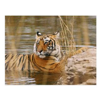 Königlicher bengalischer Tiger im Waldteich, Postkarte