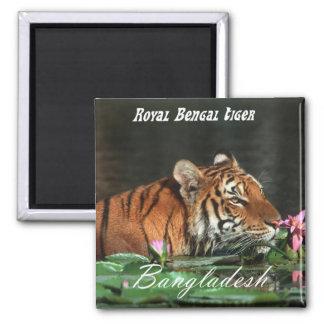Königlicher bengalischer Tiger Quadratischer Magnet