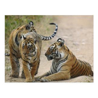 Königlicher bengalischer Tiger und Junge eine, Postkarte