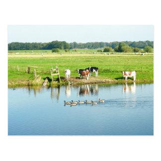 Kühe in der Wiesen-Fluss-LandschaftsFoto-Postkarte Postkarte