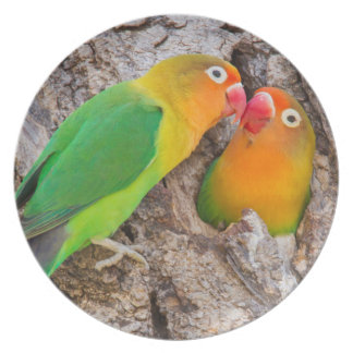 Küssende Fischers Lovebirds, Afrika Teller