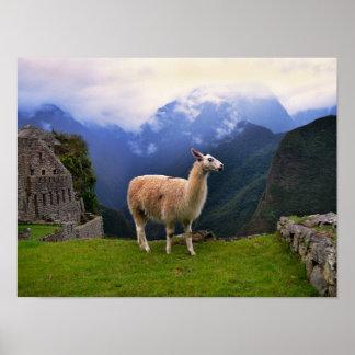 Lama bei Machu Picchu, Peru Poster