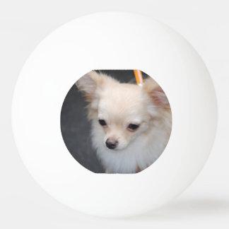 Langhaarige Chihuahua Tischtennis Ball