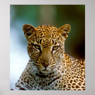 Leopard-Porträt Poster