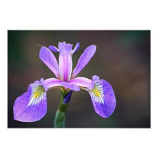 Lila Iris 4 Kunstphotos
