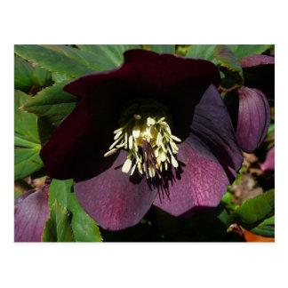 Lila Lenten Rosen-Ostern-Blume Postkarten