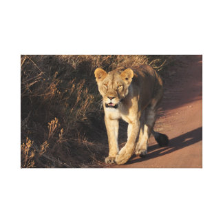 Löwe, der die Straße kreuzt Leinwanddruck