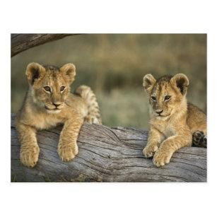 two young lions 3 -D Kenia Ansichtskarte: zwei junge Löwen