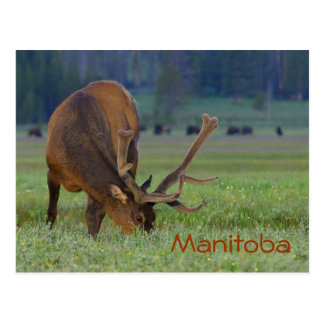 Manitoba-Elchpostkarte Postkarte