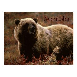 Manitoba-Grizzlybärpostkarte Postkarte