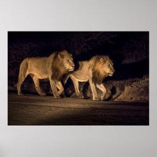 Männliche Löwen, die nachts gehen Poster