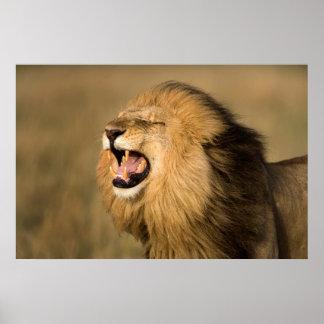 Männlicher brüllender Löwe Poster